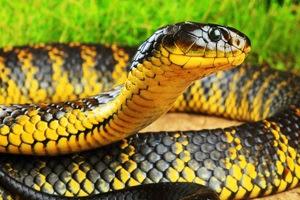 serpente-tigre.jpg