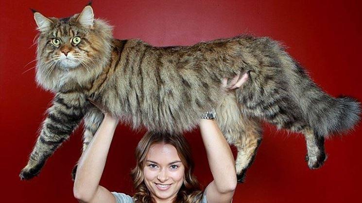 gatto-gigante.jpg