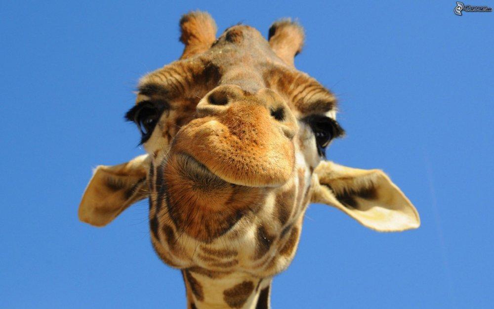 giraffa.jpeg