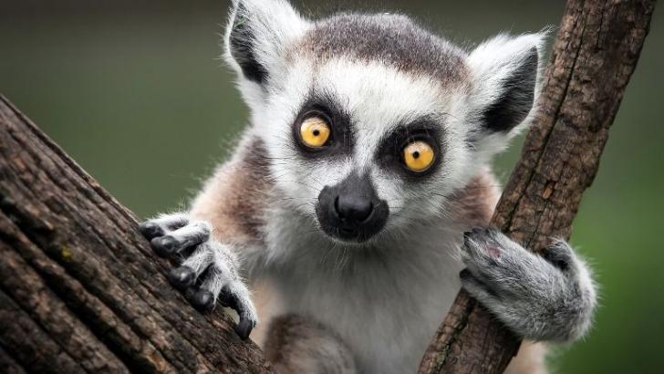 lemure.jpg