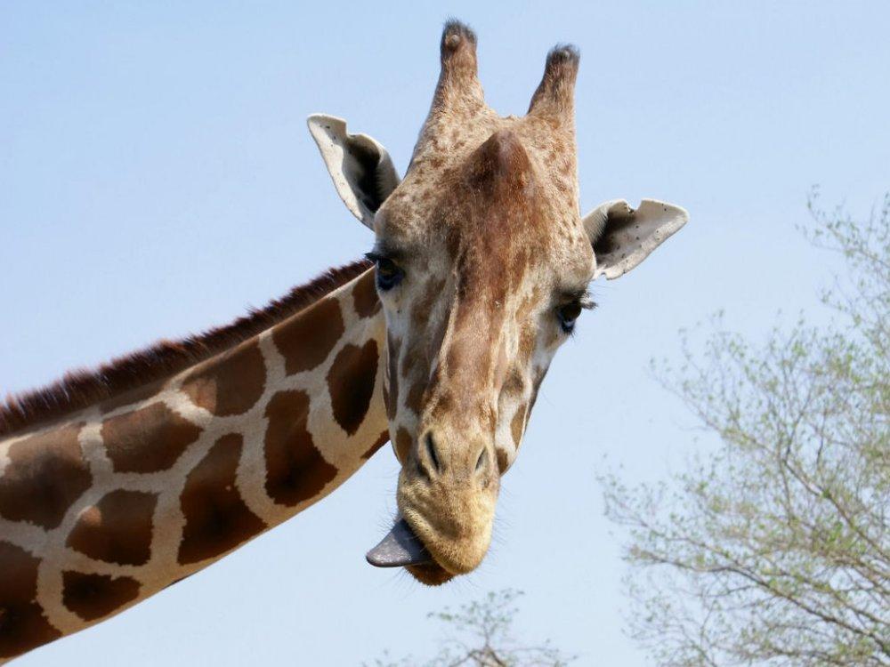 giraffa-1024x768.jpg
