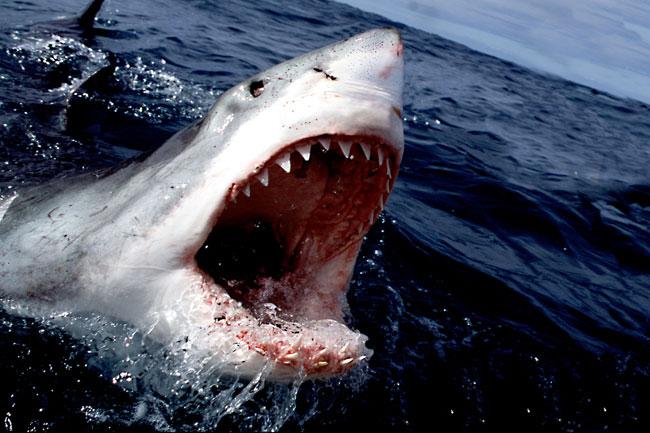 grande-squalo-bianco-09.jpg