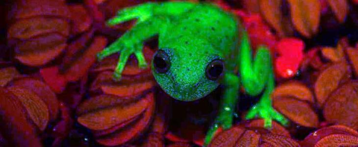 rana-fluorescente.jpg