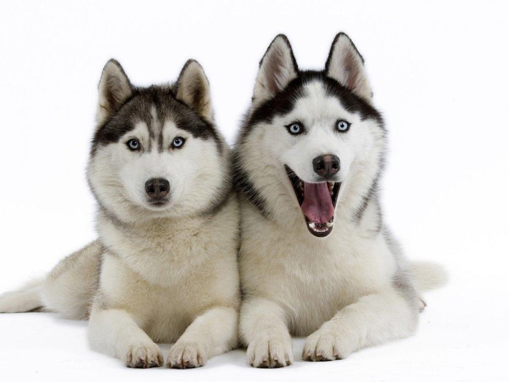 Siberian-Huskies-1024x768.jpg