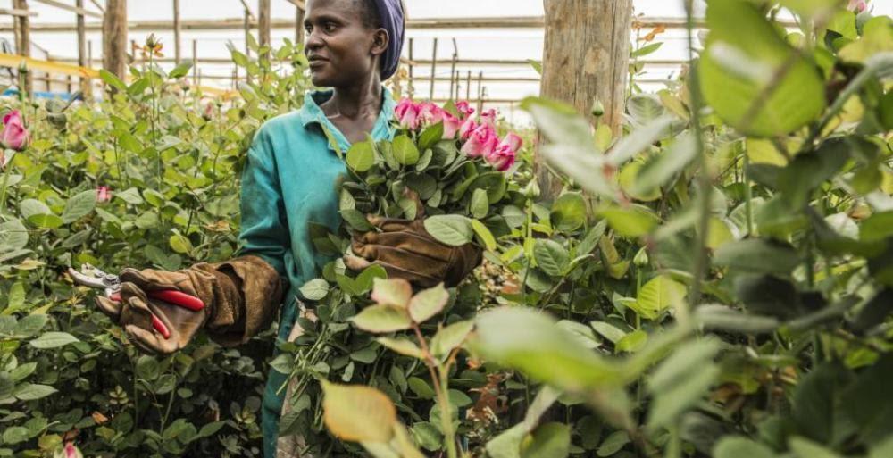 etiopia-olanda-fiori-agricoltura-floricoltura-export-esportazioni-lavoro-iscos-ong-sviluppo-sfruttamento-serre-crescita-investimenti-economia-donne-empowerment.jpg