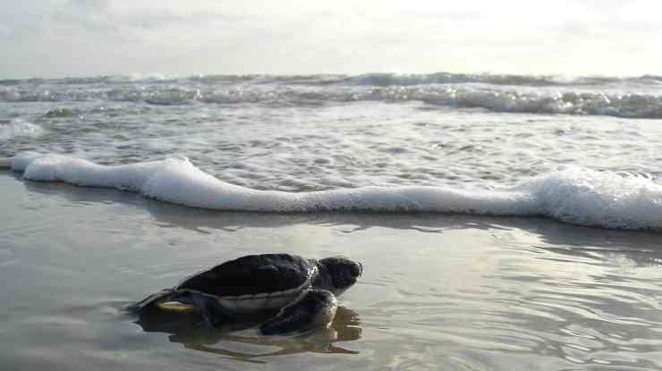 green-sea-turtle-1185954_1280.jpg